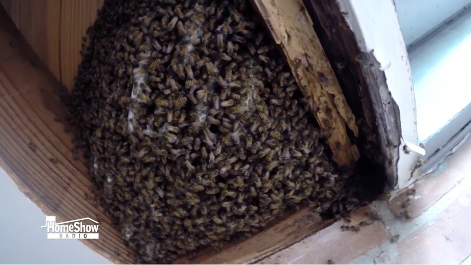 Honey Bees Are A Good Thing Until They Find A Home In