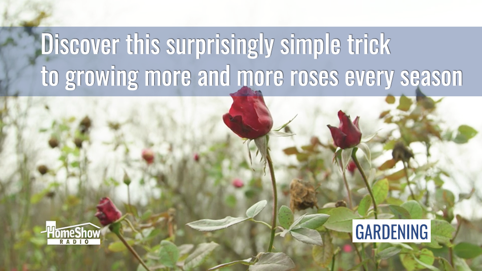 Discover these simple rose garden tricks to grow more roses every season