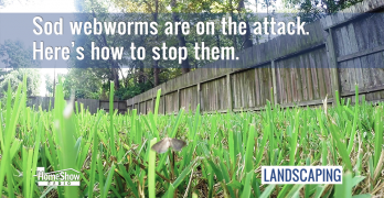 Sod webworms are on the attack. Here's how to stop them.