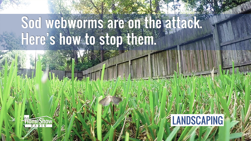 Sod Webworms Are Attacking Lawns Here S How To Protect Yours