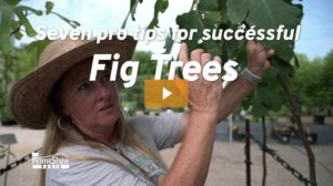 How to grow fig trees tips